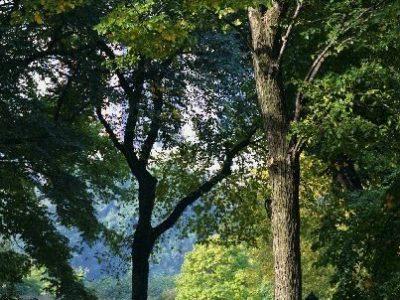 IMG 0175D2 Central Park tree, light (good)