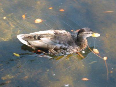 IMG_6770 swimming duck