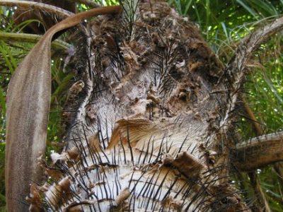IMG_7339 tree trunk, spikes, crown (ok)